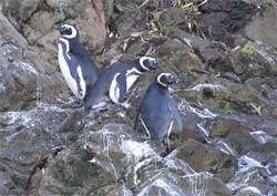 Puñihuil Penguin colony